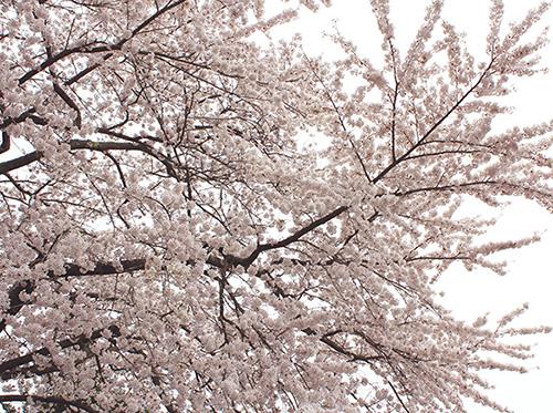 20160408sakura.jpg