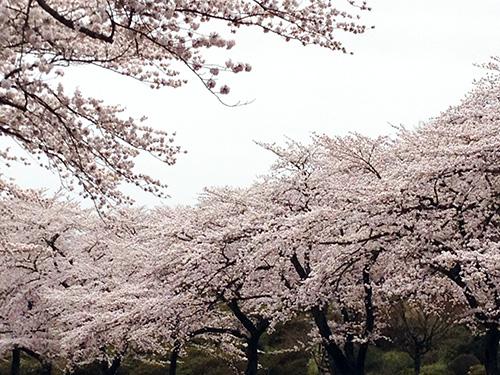 paki20160410sakura2.jpg